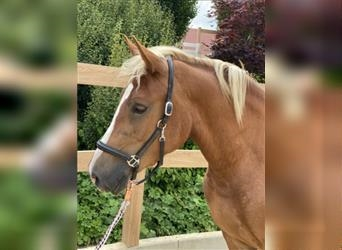 More ponies/small horses, Mare, 3 years, 14.2 hh, Chestnut