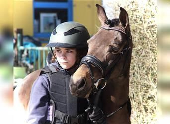 Welsh A (Mountain Pony), Mare, 6 years, 11.2 hh, Bay-Dark