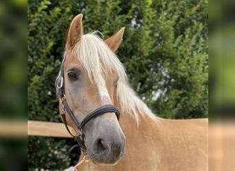 Haflinger, Mare, 8 years, 14.2 hh, Chestnut-Red