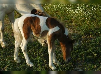 Shetland Ponies, Mare, Foal (07/2021), 9.2 hh, Tobiano-all-colors