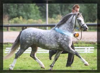 Welsh A (Mountain Pony), Stallion, 9 years, 11.2 hh, Gray
