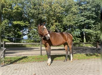 NRPS, Mare, 18 years, 16.1 hh, Brown