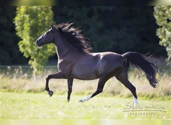 Tennessee walking horse, Mare, 12 years, 15.2 hh