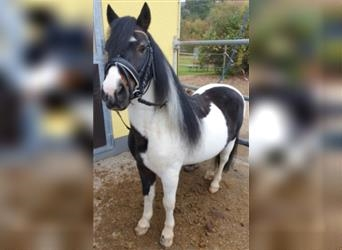 Welsh A (Mountain Pony) Mix, Gelding, 11 years, 12.1 hh, Pinto