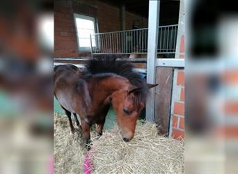 More ponies/small horses, Mare, 1 year, Brown