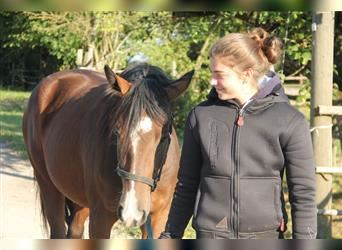 American Quarter Horse Mix, Mare, 3 years, 14.2 hh, Brown