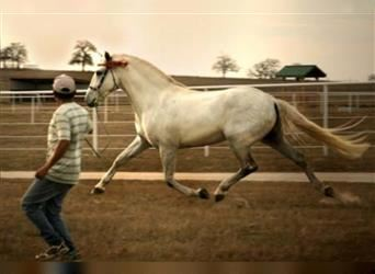 Andalusian, Stallion, 16 years, 16.1 hh, Gray