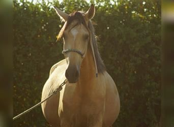 Andalusier, Stute, 2 Jahre, 157 cm, Falbe