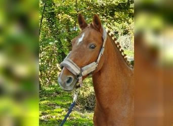 More ponies/small horses, Gelding, 10 years, 13.3 hh, Chestnut-Red