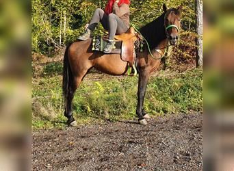 Other Breeds, Mare, 6 years, 15 hh, Brown