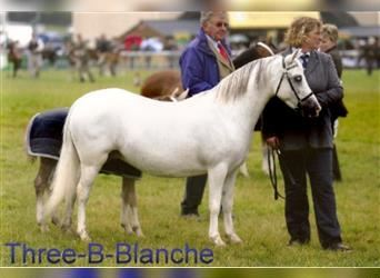 Welsh A (Mountain Pony), Stallion, 15 years, 11.1 hh, Gray-Red-Tan