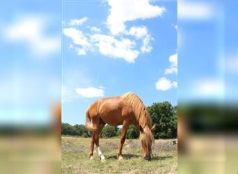 French Trotter, Stallion, 4 years, 16.2 hh, Chestnut-Red