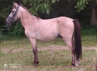 More ponies/small horses, Gelding, 4 years, 12 hh, Dun