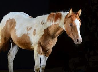 Paint Horse, Mare, Foal (03/2021), 14.3 hh, Pinto