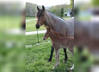 Kentucky Mountain Saddle Horse, Hengst, 2 Jahre, 147 cm, Roan-Red