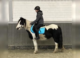 Gypsy Horse, Mare, 5 years, 13.1 hh, Pinto