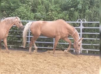 Other Breeds, Mare, 3 years, 17.1 hh, Palomino
