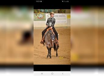 Paint Horse, Gelding, 16 years, 15.1 hh, Roan-Bay