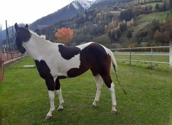 Paint Horse, Mare, 4 years, 14.2 hh, Tobiano-all-colors