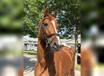 Hungarian Sport Horse, Gelding, 5 years, 16.2 hh, Chestnut-Red