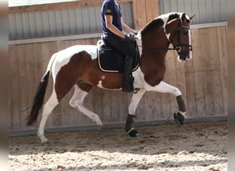 Pintos, Mare, 7 years, 15.1 hh, Pinto