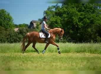 German Riding Pony, Mare, 3 years, 14.1 hh, Chestnut