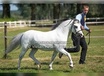 Welsh A (Mountain Pony), Stallion, 12 years, 11.2 hh, Gray