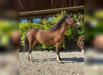 Welsh A (Mountain Pony), Gelding, 4 years, 12.1 hh, Brown