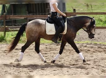 Andalusian, Gelding, 3 years, 15.1 hh, Can be white