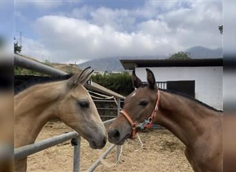 Andalusian Mix, Stallion, Foal (01/2021), 16 hh, Gray-Red-Tan