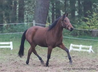 Andalusian, Gelding, 2 years, 15.1 hh, Brown
