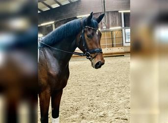 Hanoverian, Mare, 3 years, 16.3 hh, Brown