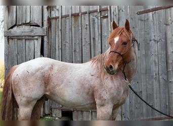 Paint Horse, Stallion, 8 years, 14.2 hh, Roan-Red