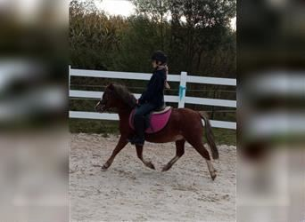 Welsh A (Mountain Pony), Gelding, 5 years, 12 hh, Chestnut