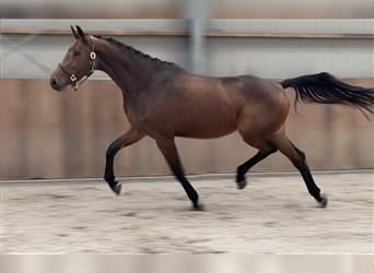 KWPN, Mare, 3 years, 17 hh, Brown