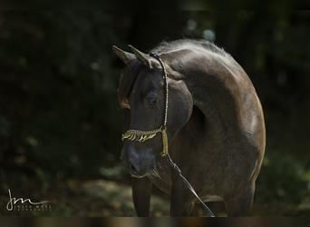 Straight Egyptian, Mare, 10 years, 15.1 hh, Black