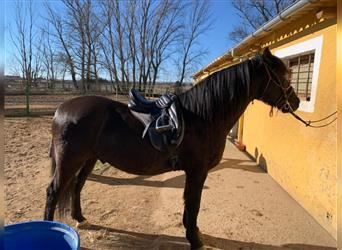 Andalusier Mix, Wallach, 11 Jahre, 153 cm, Rappe