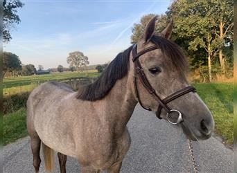 Half Arabs, Mare, 3 years, 14.1 hh, Gray-Red-Tan