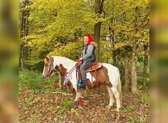 Pintos, Mare, 7 years, 14.1 hh, Pinto