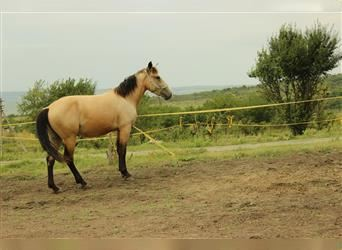 Other Thoroughbreds, Mare, 3 years, 15.2 hh, Dun