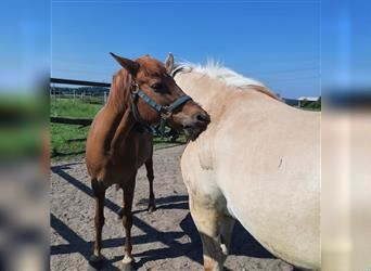 New Forest Pony Mix, Mare, 13 years, 12.2 hh, Chestnut-Red