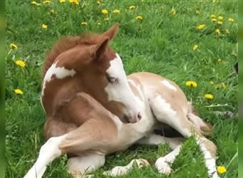 Paint Horse Mix, Stallion, Foal (04/2021), 15 hh, Overo-all-colors