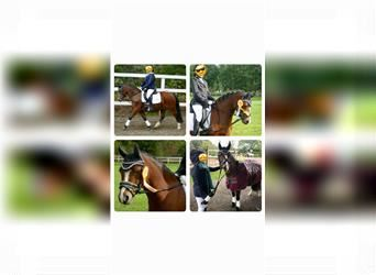 Welsh A (Mountain Pony), Gelding, 16 years, 11.2 hh, Brown