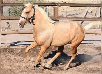 Andalusier, Hengst, 1 Jahr, 152 cm, Palomino