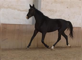 German Riding Horse, Mare, 3 years, 16.2 hh, Black