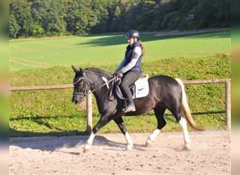 More ponies/small horses, Mare, 4 years, 15 hh, Pinto