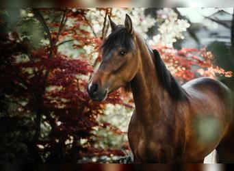 Paso Fino, Jument, 4 Ans, Isabelle