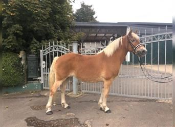 Haflinger, Mare, 11 years, 14.2 hh