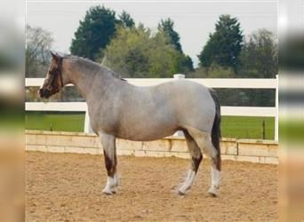 Welsh A (Mountain Pony), Mare, 11 years, 12.1 hh, Roan-Red
