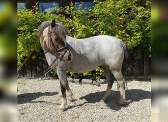 Welsh-A, Stute, 11 Jahre, 127 cm, Roan-Red
